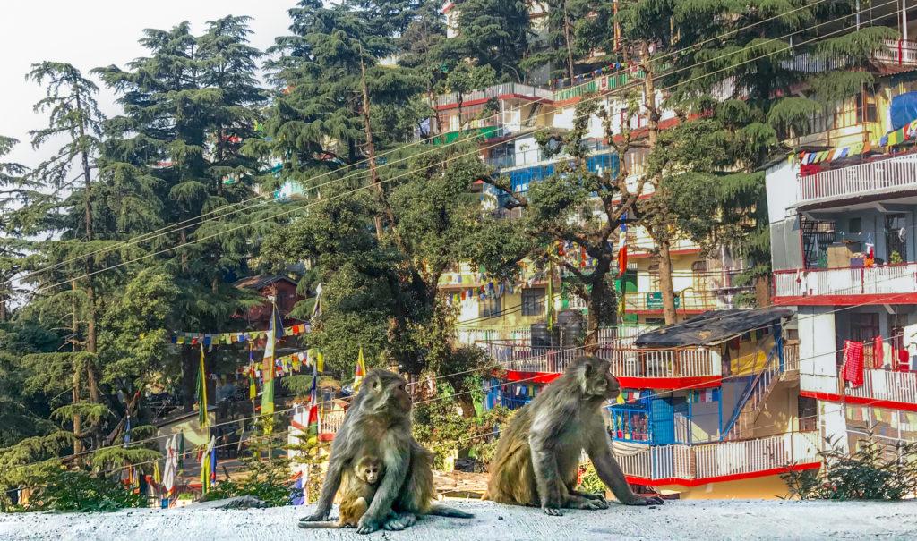 Himalayan Monkeys